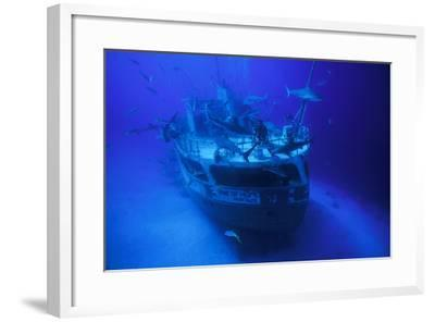 A Person on the Ray of Hope Shipwreck with Caribbean Reef Sharks, Carcharhinus Perezi, Circling-David Doubilet-Framed Photographic Print