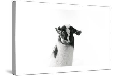 Lovable Llama I-Laura Marshall-Stretched Canvas Print