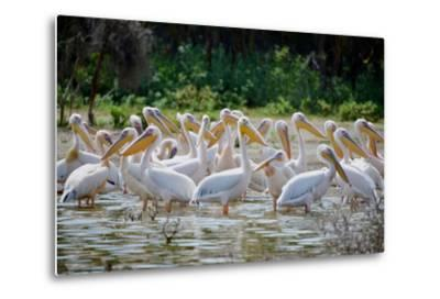 Africa: Kenya: a Flock of Yellow Beaked Pelican Looks Out for Food-Lindsay Constable-Metal Print