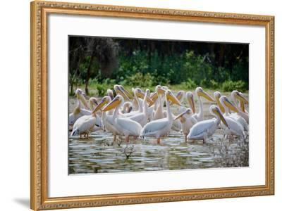 Africa: Kenya: a Flock of Yellow Beaked Pelican Looks Out for Food-Lindsay Constable-Framed Photographic Print