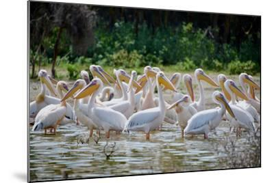 Africa: Kenya: a Flock of Yellow Beaked Pelican Looks Out for Food-Lindsay Constable-Mounted Photographic Print
