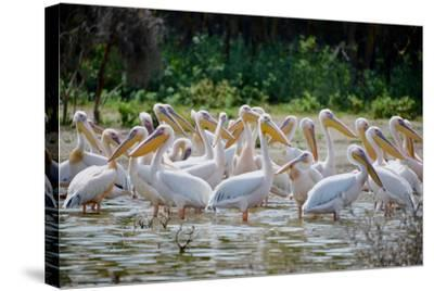 Africa: Kenya: a Flock of Yellow Beaked Pelican Looks Out for Food-Lindsay Constable-Stretched Canvas Print