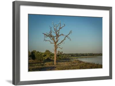 Cattle Egrets in Dead Tree Beside River-Nick Dale-Framed Photographic Print