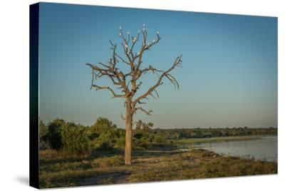 Cattle Egrets in Dead Tree Beside River-Nick Dale-Stretched Canvas Print