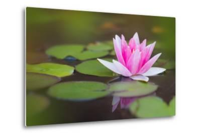 Beautiful Pink Water Lily and Leaves in Pond- Anyka-Metal Print