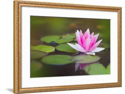 Beautiful Pink Water Lily and Leaves in Pond- Anyka-Framed Photographic Print
