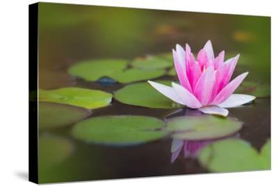 Beautiful Pink Water Lily and Leaves in Pond- Anyka-Stretched Canvas Print