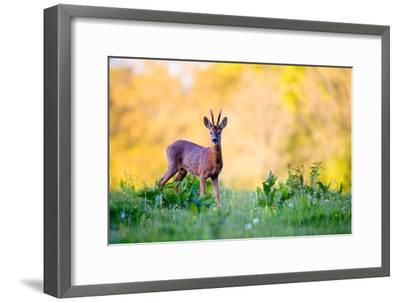 Roe Deer-Don Hooper-Framed Photographic Print