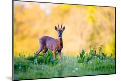 Roe Deer-Don Hooper-Mounted Photographic Print