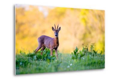 Roe Deer-Don Hooper-Metal Print