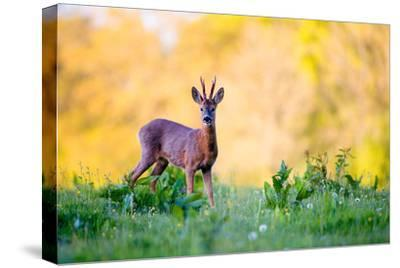 Roe Deer-Don Hooper-Stretched Canvas Print
