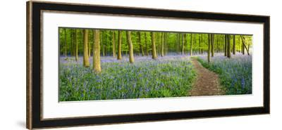 Path Winds Through a Carpet of Bluebells in a Wood in Hertfordshire, UK-Dan Tucker-Framed Photographic Print
