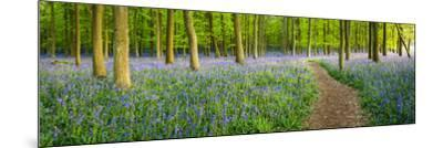 Path Winds Through a Carpet of Bluebells in a Wood in Hertfordshire, UK-Dan Tucker-Mounted Photographic Print