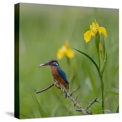 European Kingfisher with Prey with Yellow Iris Flowers-Fred Van Wijk-Stretched Canvas Print