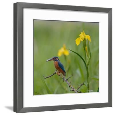 European Kingfisher with Prey with Yellow Iris Flowers-Fred Van Wijk-Framed Photographic Print