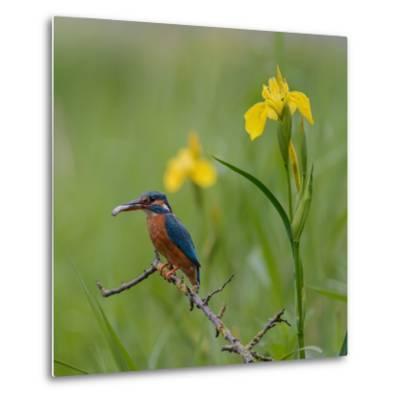 European Kingfisher with Prey with Yellow Iris Flowers-Fred Van Wijk-Metal Print