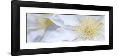 Clematis Flowers Marie Boisselot-Ian Dobbs-Framed Photographic Print