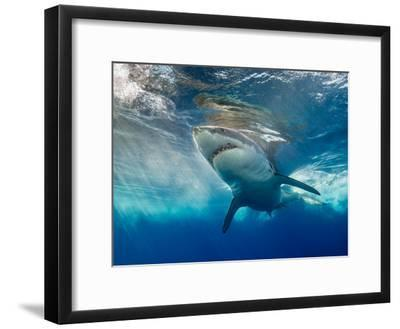 Great White Shark Underwater at Guadalupe Island, Mexico-Wildestanimal-Framed Photographic Print