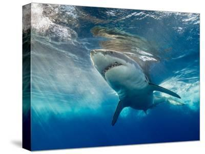 Great White Shark Underwater at Guadalupe Island, Mexico-Wildestanimal-Stretched Canvas Print