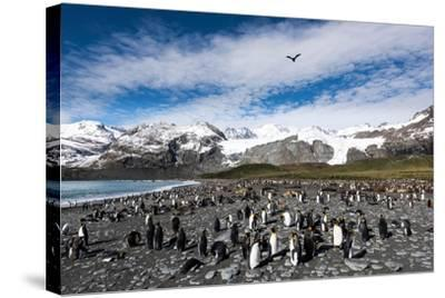 Colony of King Penguins (Aptenodytes Patagonicus) Gold Harbour South Georgia-Renato Granieri-Stretched Canvas Print