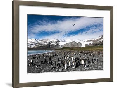 Colony of King Penguins (Aptenodytes Patagonicus) Gold Harbour South Georgia-Renato Granieri-Framed Photographic Print