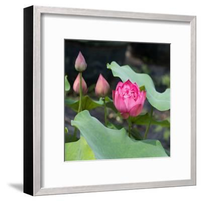 Lotus Flower and Lotus Flower Plants-Wu Kailiang-Framed Art Print