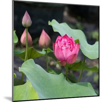 Lotus Flower and Lotus Flower Plants-Wu Kailiang-Mounted Art Print