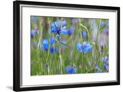 Cornflowers, Centaurea Cyanus, Macro-A. Astes-Framed Photographic Print