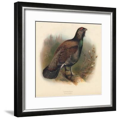 Capercaillie (Tetrao urogallus), 1900, (1900)-Charles Whymper-Framed Giclee Print