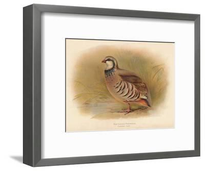 Red-Legged Partridge (Caccabus rufa), 1900, (1900)-Charles Whymper-Framed Giclee Print