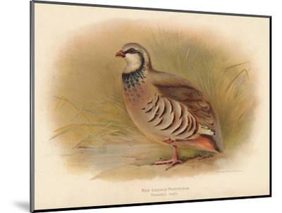 Red-Legged Partridge (Caccabus rufa), 1900, (1900)-Charles Whymper-Mounted Giclee Print