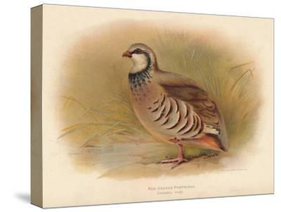 Red-Legged Partridge (Caccabus rufa), 1900, (1900)-Charles Whymper-Stretched Canvas Print