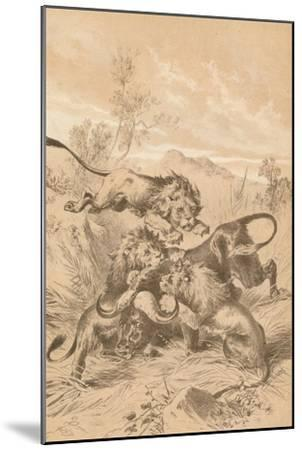 Lions Attacking A Buffalo, c1880--Mounted Giclee Print