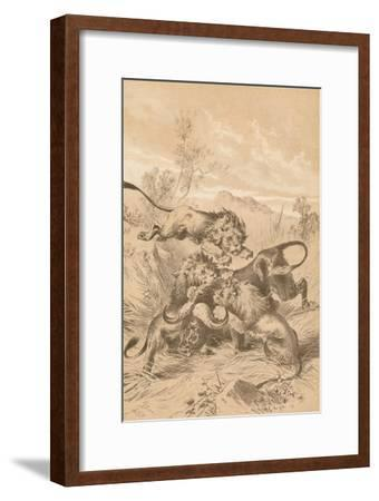 Lions Attacking A Buffalo, c1880--Framed Giclee Print