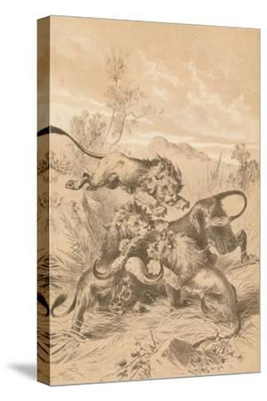 Lions Attacking A Buffalo, c1880--Stretched Canvas Print