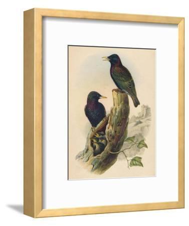 Starling, c19th century--Framed Giclee Print