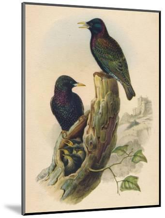Starling, c19th century--Mounted Giclee Print