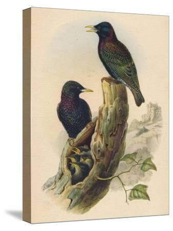 Starling, c19th century--Stretched Canvas Print