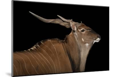 An Eastern Giant Eland, Taurotragus Derbianus, at the Houston Zoo-Joel Sartore-Mounted Photographic Print