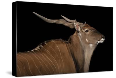An Eastern Giant Eland, Taurotragus Derbianus, at the Houston Zoo-Joel Sartore-Stretched Canvas Print