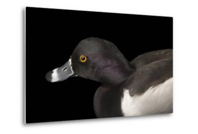 A Ring Necked Duck, Aythya Collaris, at Sylvan Heights Bird Park-Joel Sartore-Metal Print