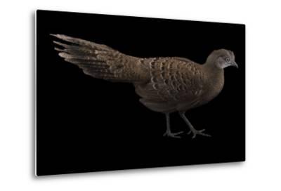A Grey Peacock Pheasant, Polyplectron Bicalcaratum, at Sylvan Heights Bird Park-Joel Sartore-Metal Print