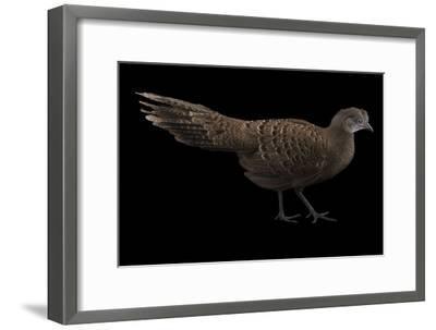 A Grey Peacock Pheasant, Polyplectron Bicalcaratum, at Sylvan Heights Bird Park-Joel Sartore-Framed Photographic Print