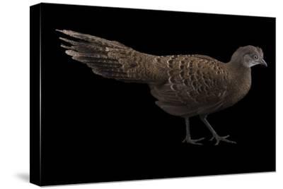 A Grey Peacock Pheasant, Polyplectron Bicalcaratum, at Sylvan Heights Bird Park-Joel Sartore-Stretched Canvas Print