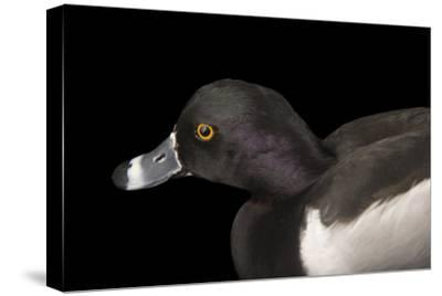 A Ring Necked Duck, Aythya Collaris, at Sylvan Heights Bird Park-Joel Sartore-Stretched Canvas Print