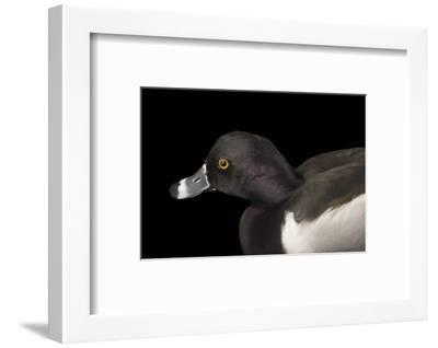 A Ring Necked Duck, Aythya Collaris, at Sylvan Heights Bird Park-Joel Sartore-Framed Photographic Print