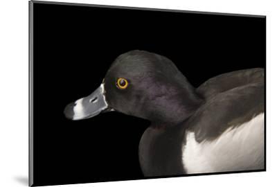 A Ring Necked Duck, Aythya Collaris, at Sylvan Heights Bird Park-Joel Sartore-Mounted Photographic Print