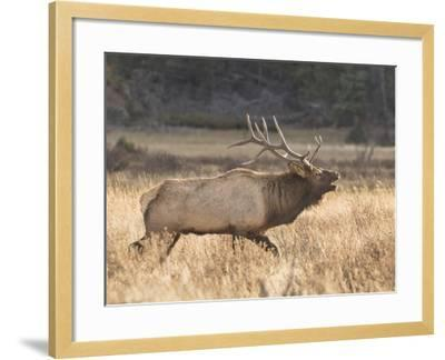 A Bull Elk Charges a Herd of Cows in Anticipation of Mating-Richard Seeley-Framed Photographic Print
