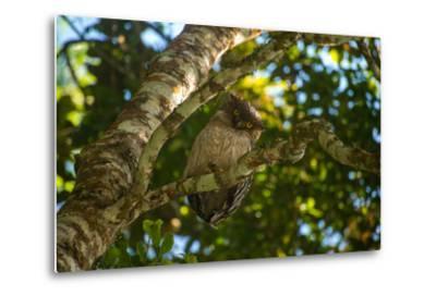 A Brown Fish Owl, Bubo Zeylonensis, Perches on a Tree Branch-Prasenjeet Yadav-Metal Print