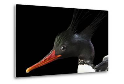 An Endangered Male Scaly Sided Merganser, Mergus Squamatus, at Sylvan Heights Bird Park-Joel Sartore-Metal Print